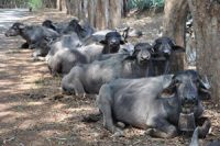 Scientific Feeding of Cattle and  Buffalo