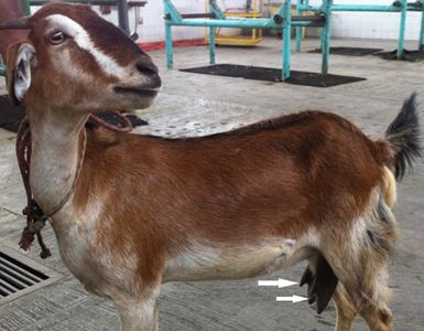Supernumerary Teats In Goat